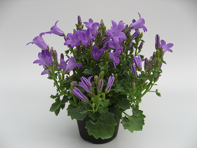 Campanula Little Blue Ocean® - 6 cm