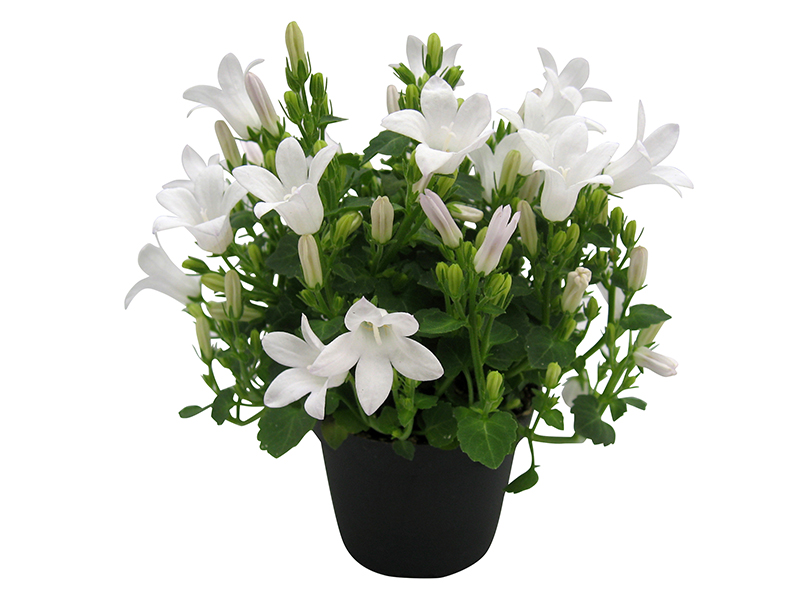 Campanula Little White Ocean® - 6 cm