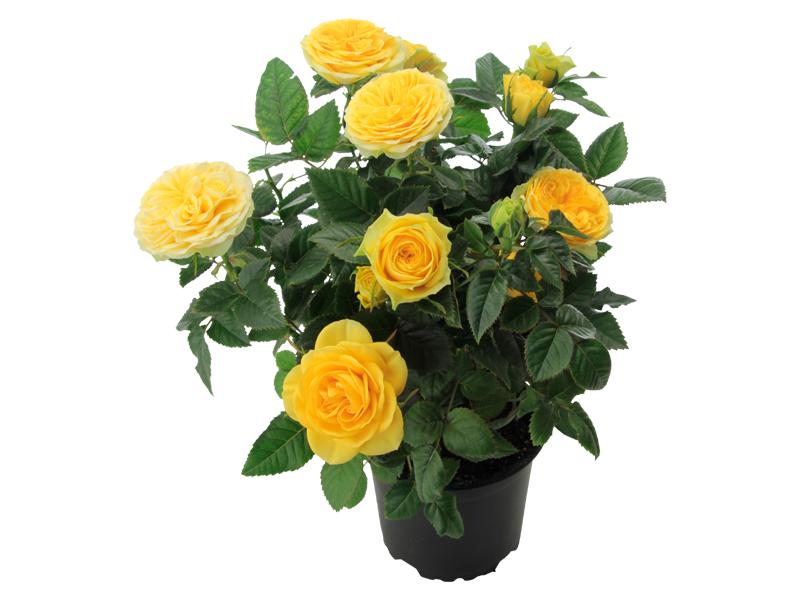Golden Yellow Romance