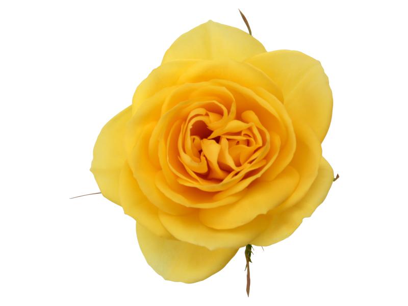 Golden Yellow Romance - Closeup