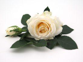 Infinity® - Flower