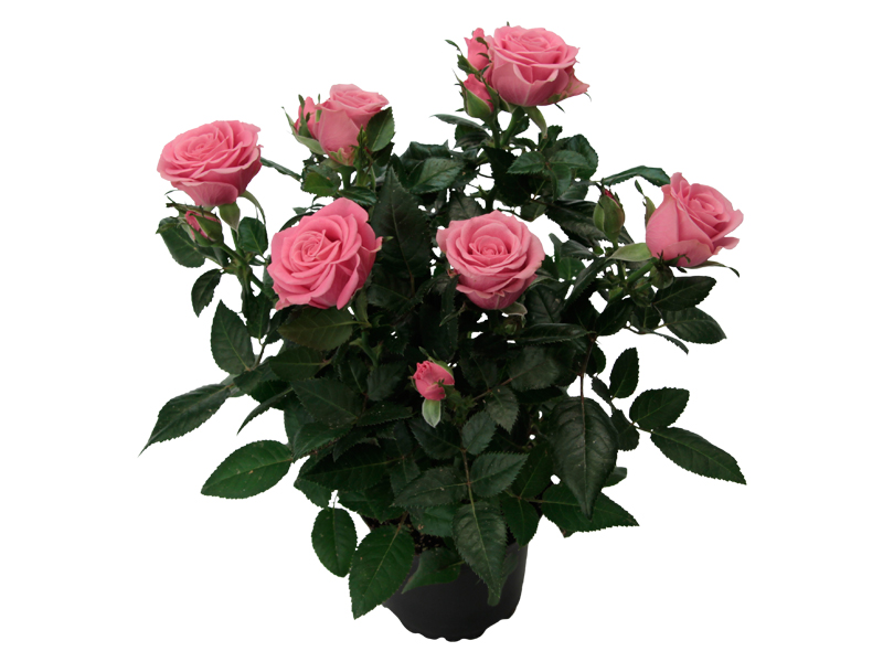 Dark Pink Romance