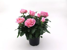 Pink Infinity® - Plant