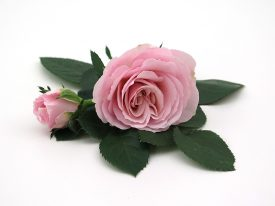 Princess of Infinity® - Flower