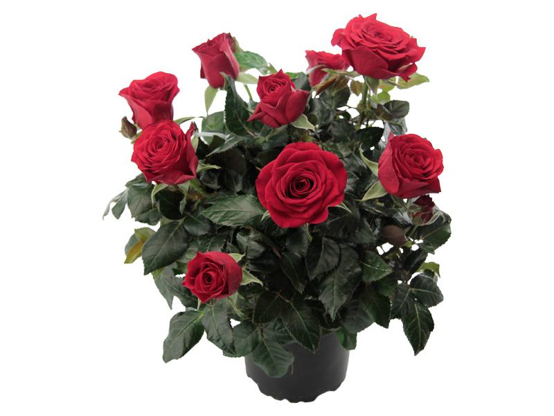 Pure Red Romance