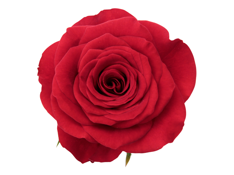 Pure Red Romance - Closeup