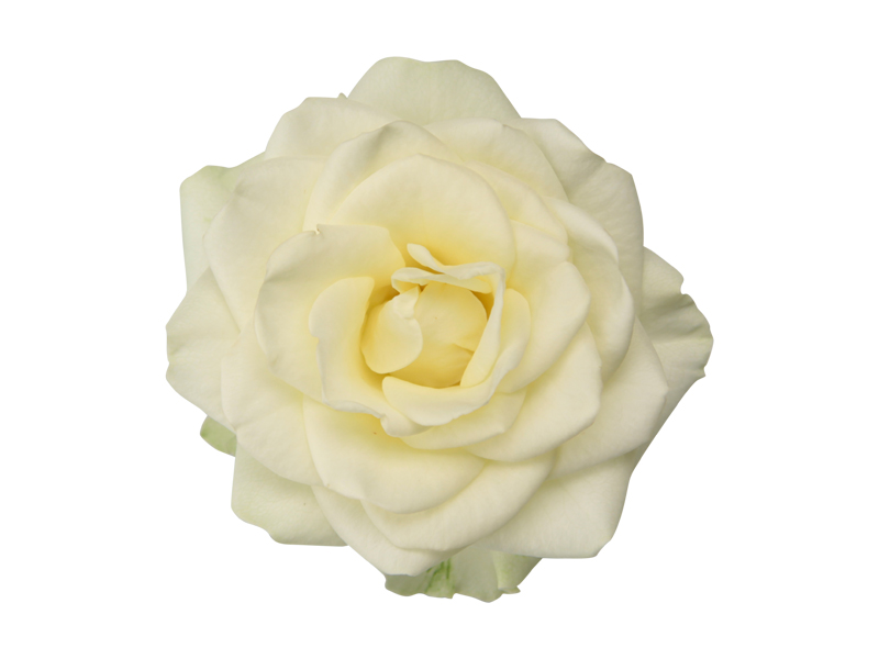 Soft White Romance - Closeup