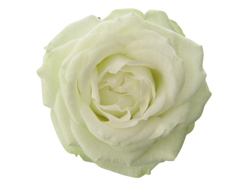 True White Romance - Closeup