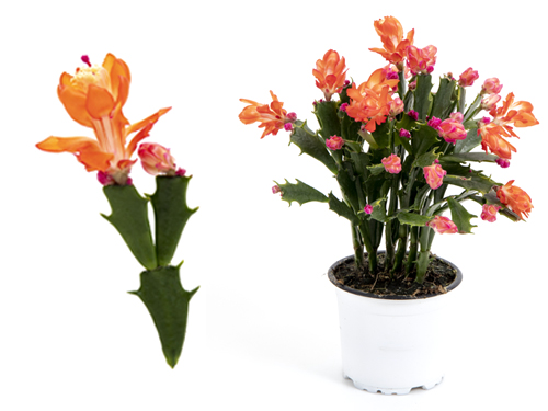 Thor Wild Cactus - orange 11 cm