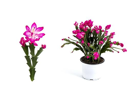 Thor Wild Cactus - pink