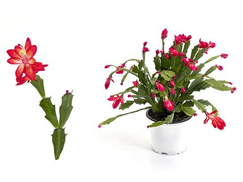 Thor Wild Cactus - red
