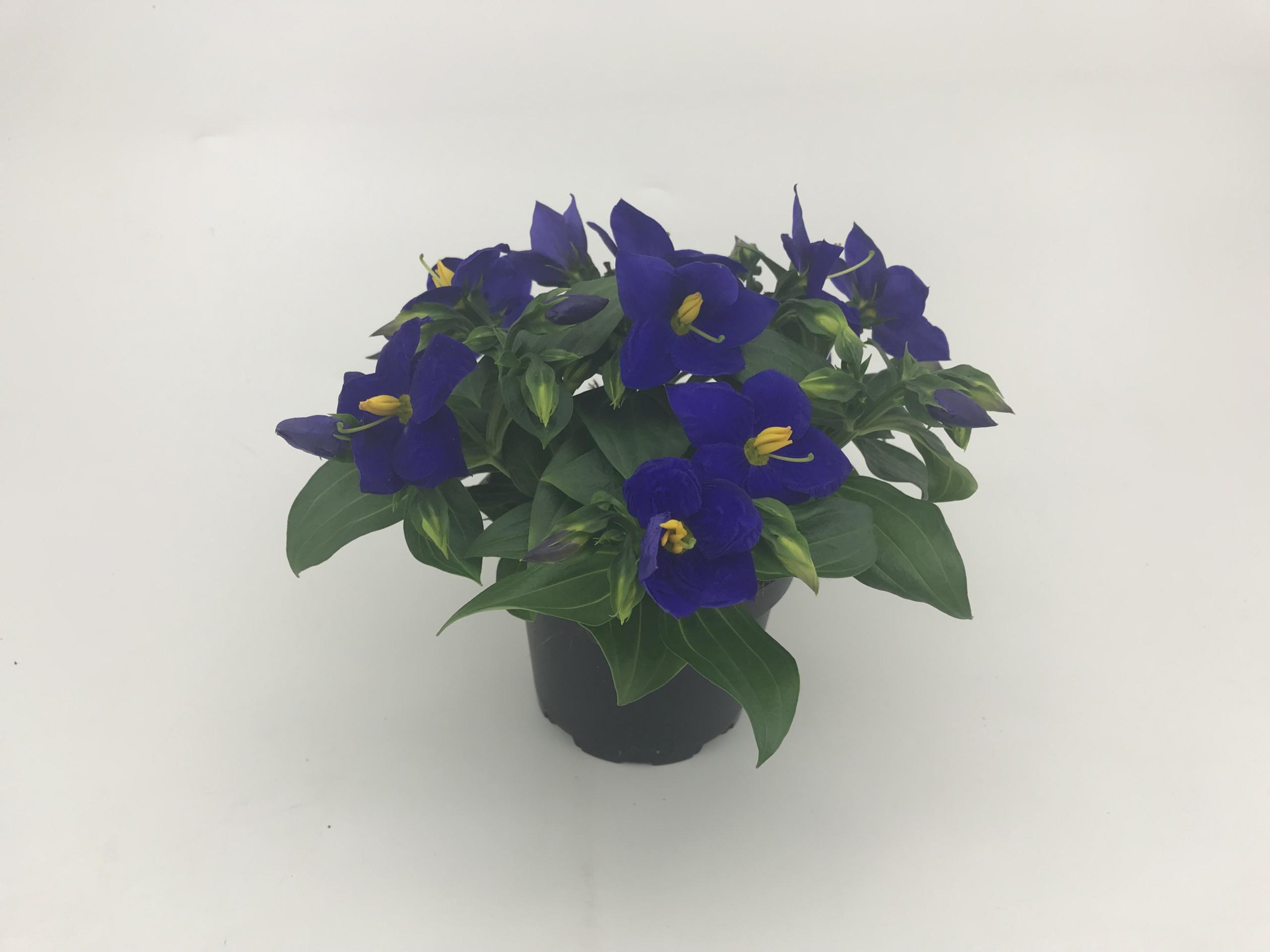 Exacum hybrid Sapphire - Blue 11 cm