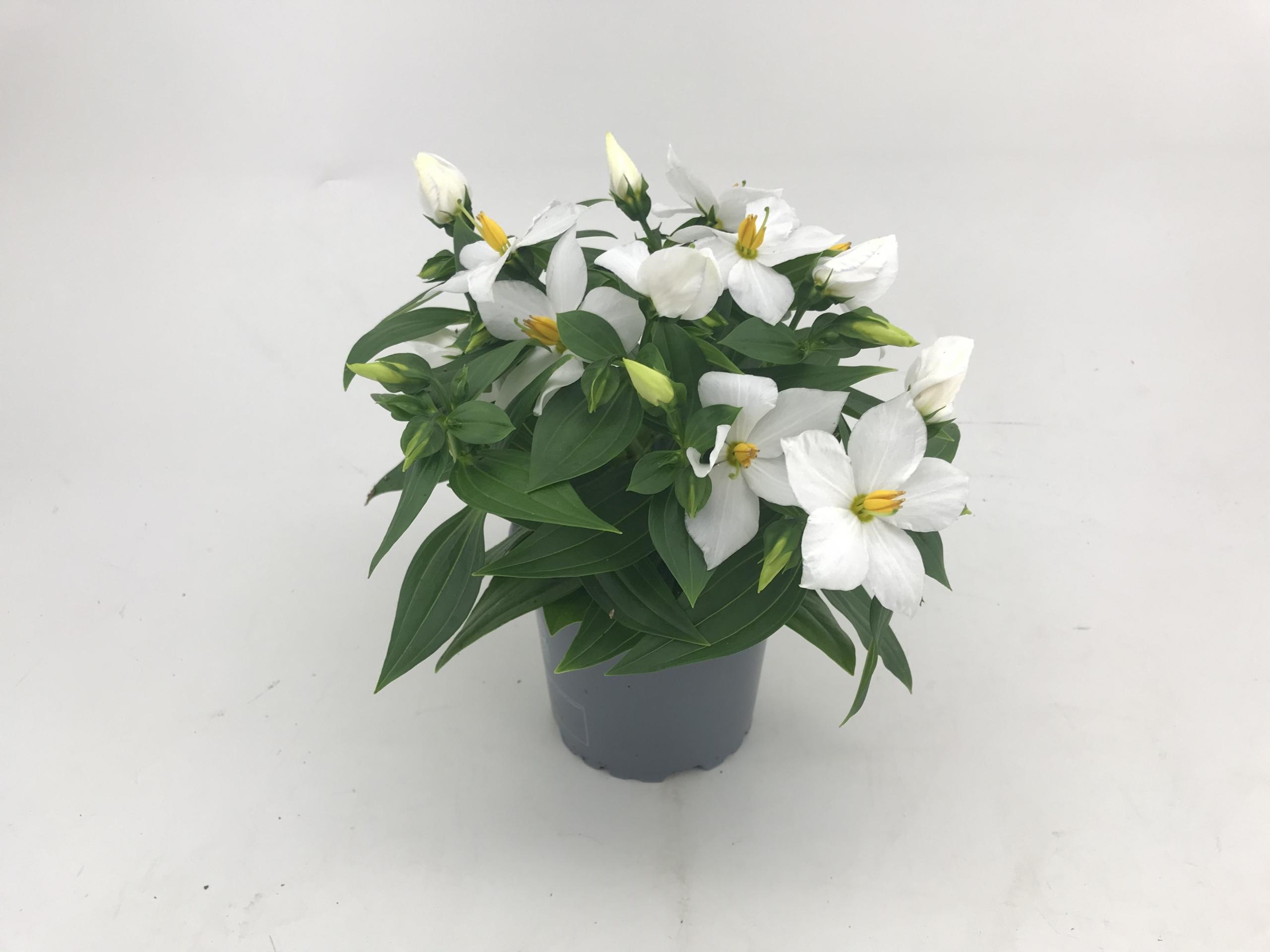 Exacum hybrid Sapphire - White 11 cm