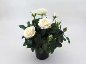 Infinity® - Plant 10,5 cm