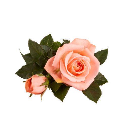 Queen Infinity® - Flower 10,5 cm